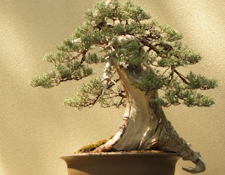 Acquisition defines future of Pacific Bonsai Museum's permanent collection